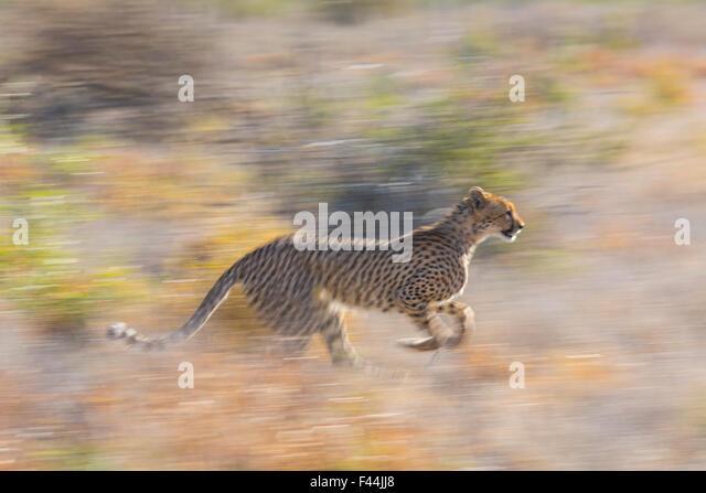 Cheetah (Acinonyx jubatus) running, Kalahari Desert, Botswana. - Stock Image