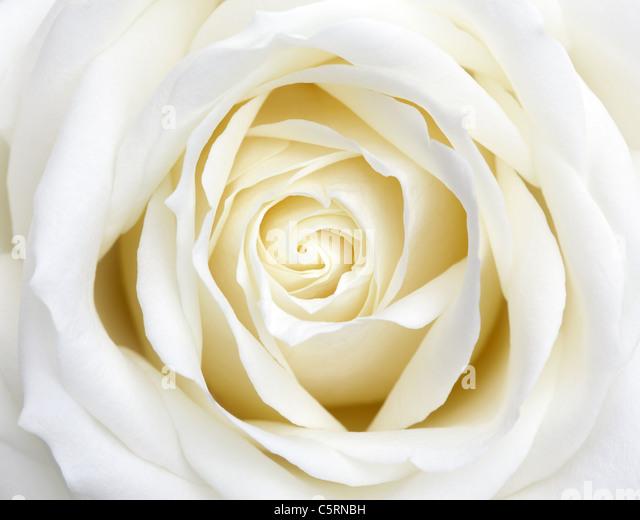 White Rose - Stock-Bilder