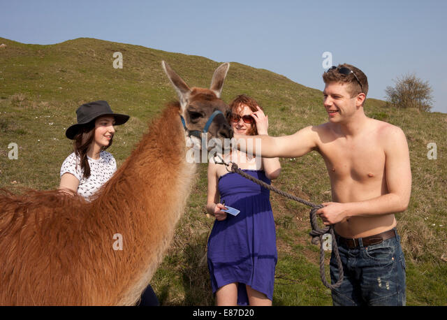 Walkers greet the Llamas on Little Solsbury Common - Stock Image