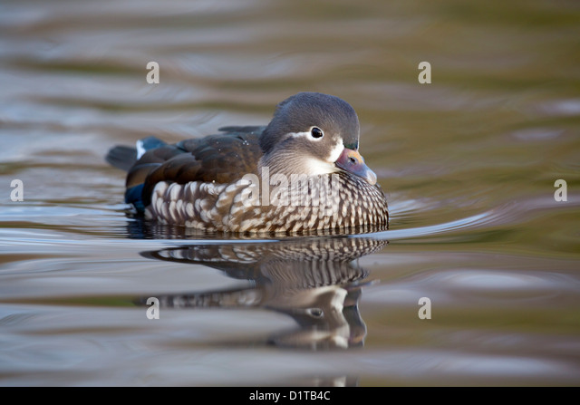 Mandarin Duck; Aix galericulata; female; Winter; UK - Stock Image