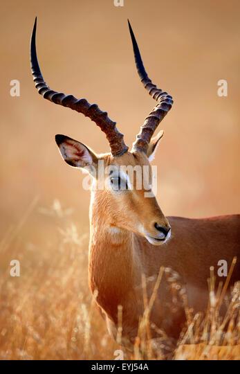 Impala male (Aepyceros melampus) portrait close-up - Kruger National park (South Africa) - Stock Image