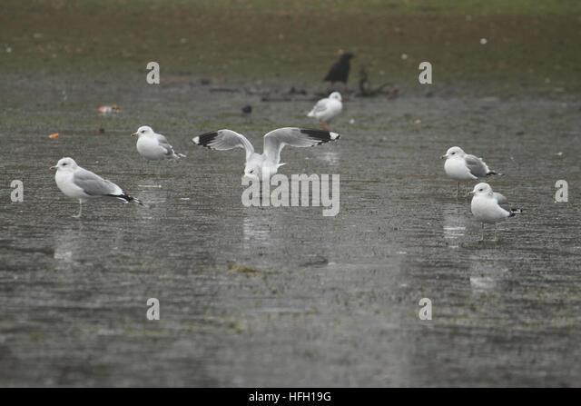 London, UK. 30th Dec, 2016. A flock of seagulls on a semi frozen Alexandra lake in Wanstead park on December 30, - Stock Image