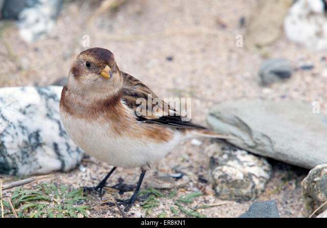 Snow Bunting, female in the sand dunes eating seeds at St Gothian LNR, Gwithian, Cornwall, England, UK. - Stock Image