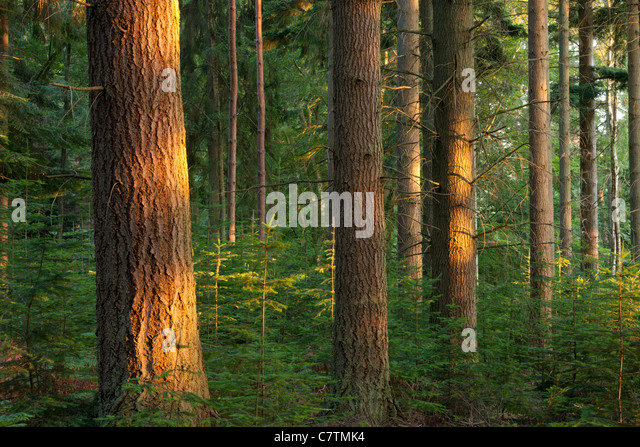 Pine trees with evening sunlight, Rhinefield Ornamental Drive, New Forest, Hampshire, England. Summer (July) 2011. - Stock Image