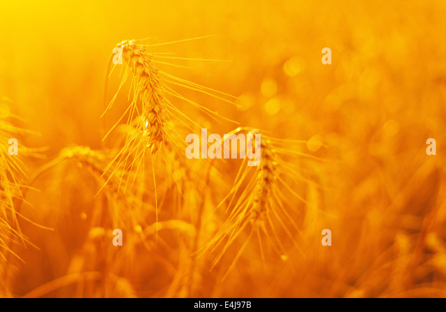 Golden wheat ears in cultivated agricultural field in sunset. Selective focus with vary shallow depth of field. - Stock-Bilder