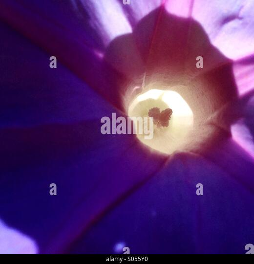 Morning glory with heart center 2 - Stock Image