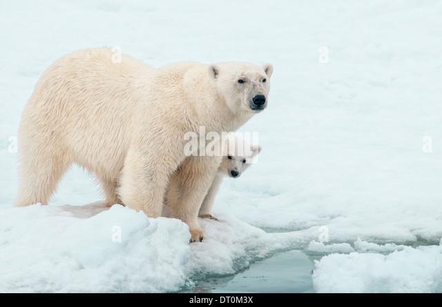 Polar Bear Mother with Cub hiding behind her, Ursus maritimus, Olgastretet Pack Ice, Spitsbergen, Svalbard Archipelago, - Stock Image