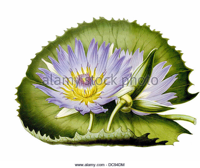 water lily Nymphaea capensis blue kapseerose - Stock-Bilder