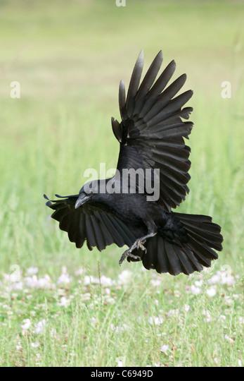 American Crow in Flight - vertical - Stock-Bilder