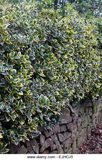 variegated holly ilex aquifolium stock photos variegated. Black Bedroom Furniture Sets. Home Design Ideas