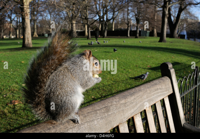Grey squirrel standing on bench eating some apple given to it by a tourist, St. James's Park, London, England, - Stock Image
