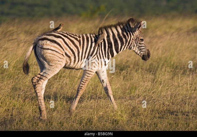 Burchell's zebra foal (Equus burchelli), with redbilled oxpeckers, Hluhluwe Umfolozi Park, KwaZulu Natal - Stock Image