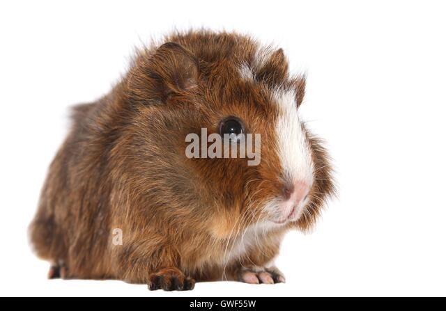 young Abyssinian guinea pig - Stock Image