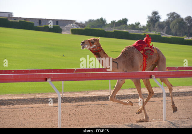 Camel running in a camel race in Abu Dhabi - Stock Image