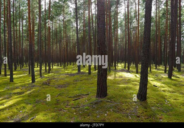 Kihnu Island Pine Forest. Estonia. 5th August 2017 - Stock Image