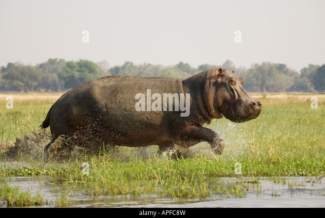 Hippopotamus (Hippopotamus amphibius), startled bull running through shallow water on a grassy island in the Zambezi - Stock-Bilder
