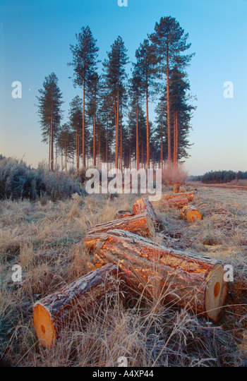 Brandon Forest in Winter near Thetford Suffolk - Stock Image