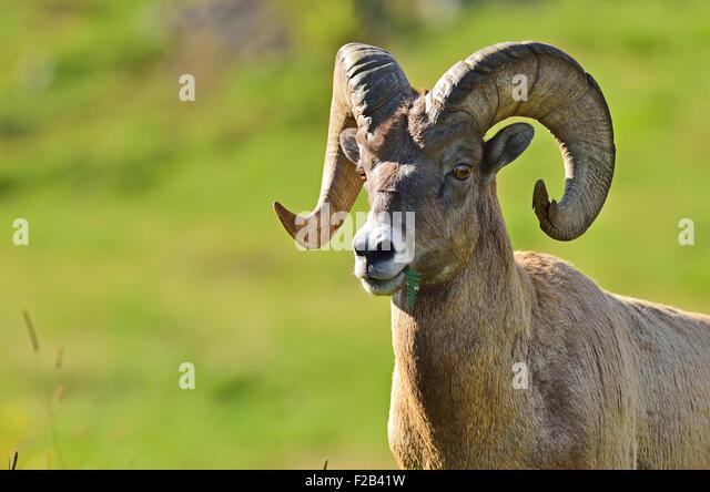A portrait image of a rocky mountain bighorn sheep,  Orvis canadensis; taken near Cadomin Alberta Canada - Stock-Bilder