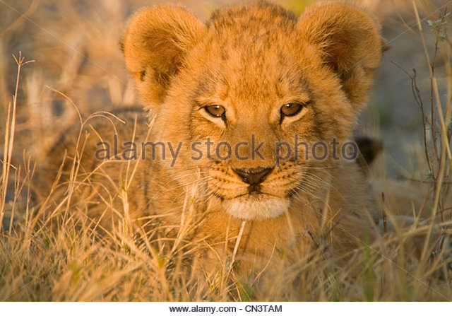 Portrait of an African Lion cub, Botswana - Stock Image