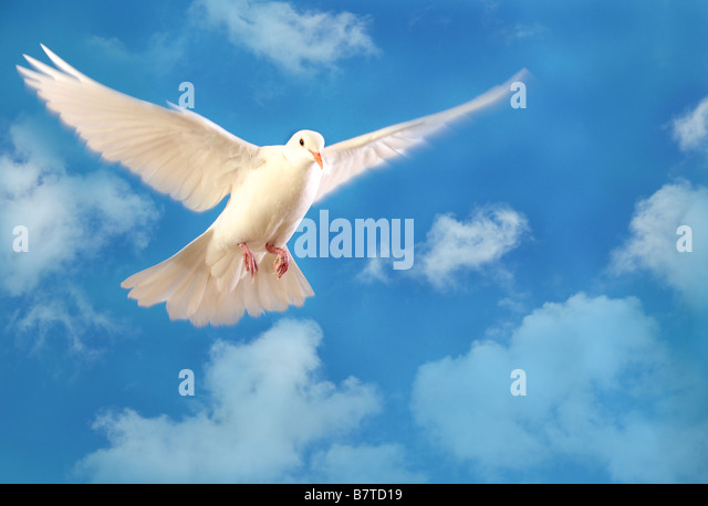 flying white dove isolated on blue sky - Stock Image