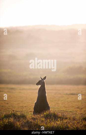 Kangaroo at Golden Hour - Stock Image