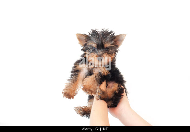 Human hands lifting a puppy yorkie dog in air - Stock Image