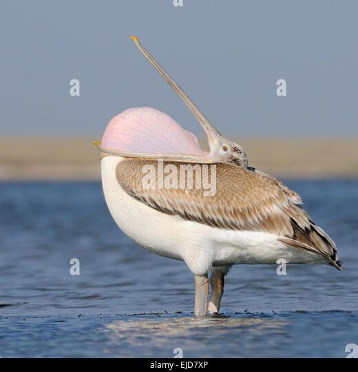 Dalmatian Pelican with open throat on Manych lake in August morning - Stock Image