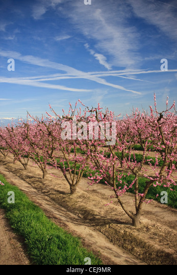 Agriculture – A nectarine orchard in Spring at the full bloom stage / near Dinuba, California, USA. - Stock Image