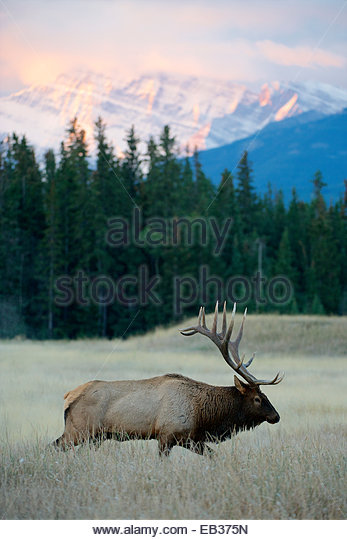 A bull elk moves through a field at sunrise. - Stock-Bilder
