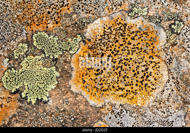 Colorful lichen on rocks - Tablelands, Gros Morne National Park, near Woody Point, Newfoundland, Canada - Stock Image