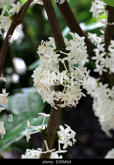 Pleiocarpa mutica, Apocynaceae. Tropical West Africa. Rare tree from Belgian Congo and Ghana with medicinal properties. - Stock-Bilder