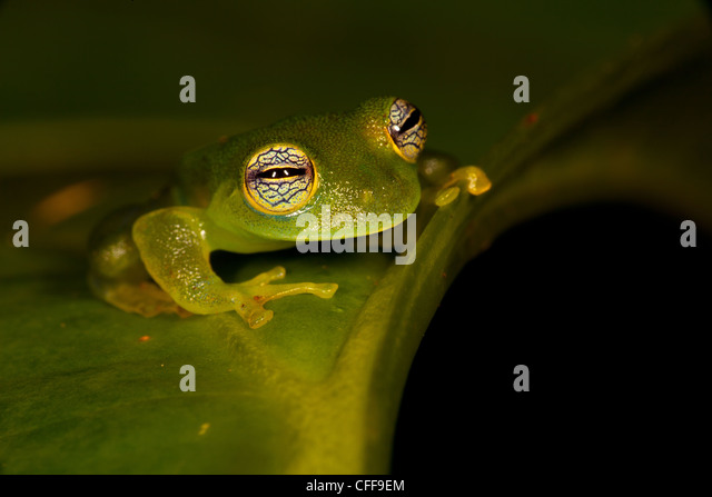 Glass frog, Cochranella spinosa, in the rainforest at Burbayar, Serrania de San Blas, Panama province, Republic - Stock-Bilder