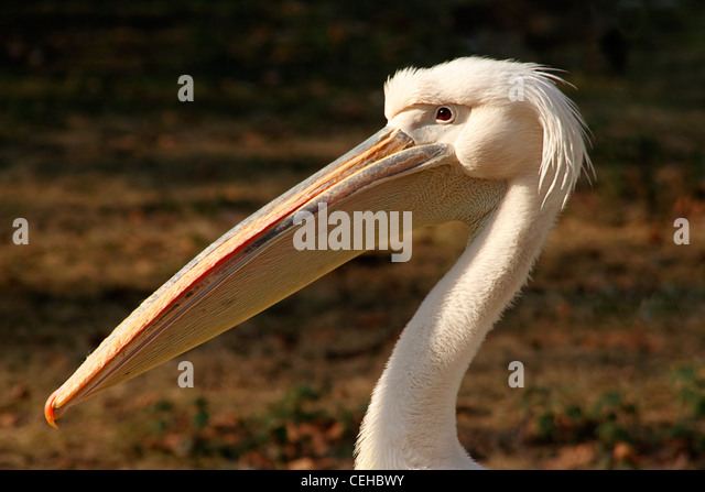 Great White Pelican, (Pelecanus onocrotalus) St James's Park, London, UK - Stock Image