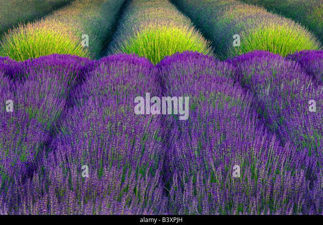 Rows of lavender Angels Lavender Farm Washington - Stock Image