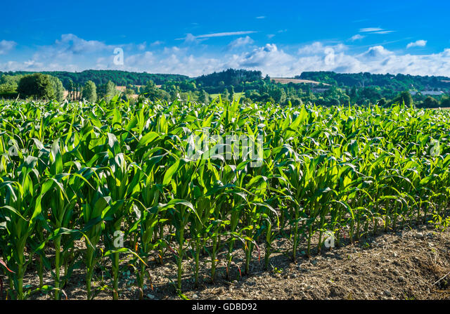 Field of Sweet Corn growing - France. - Stock Image