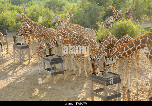Adults & young giraffe (Giraffa camelopardalis) at feeding station on Sir Bani Yas Island, UAE - Stock Image