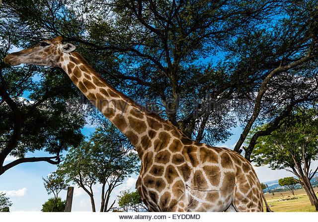 Giraffe, Lion Park, near Johannesburg, South Africa. - Stock Image