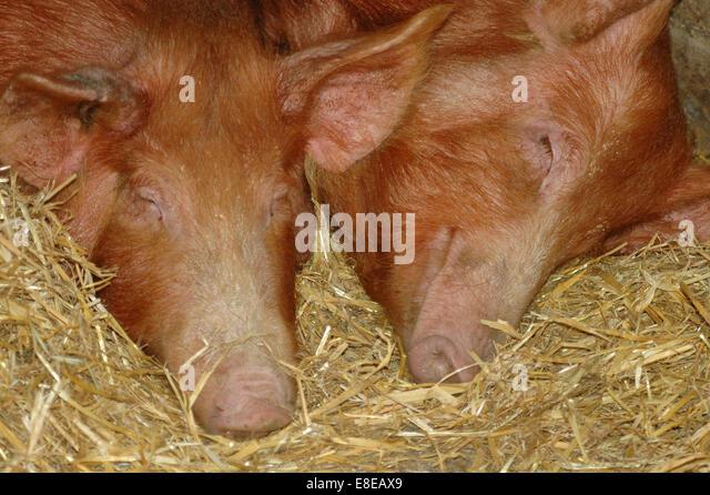 2 pink pigs sleeping on hay - Stock Image