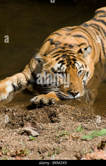 Bengal tiger relaxing by cooling off in water Kanha NP, India - Stock-Bilder