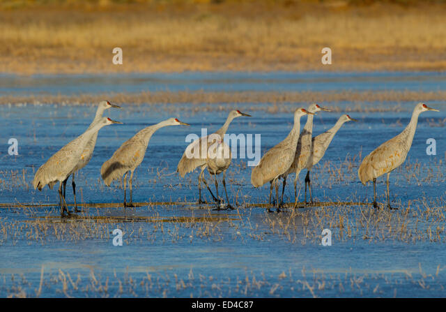 Sandhill Crane  Grus canadensis tabida  Bosque del Apache National Wildlife Refuge, New Mexico, United States 16 - Stock Image