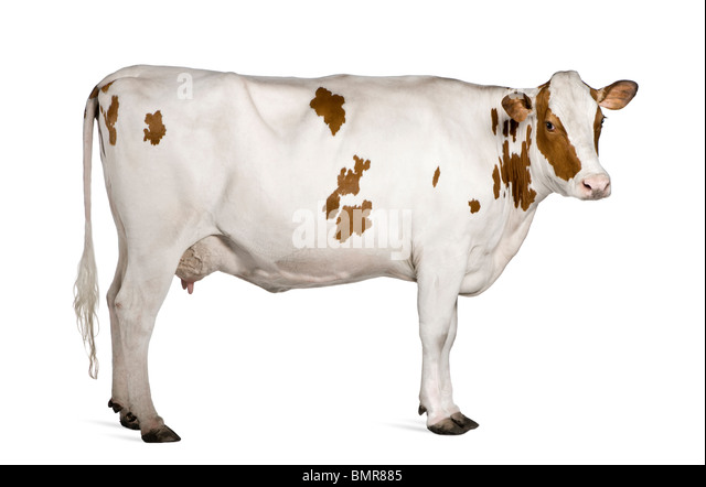 Holstein cow, 4 years old, standing against white background - Stock Image
