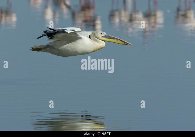 Great White Pelican (Pelecanus onocrotalus), adult in flight, Lake Nakuru, Kenya, Africa - Stock Image