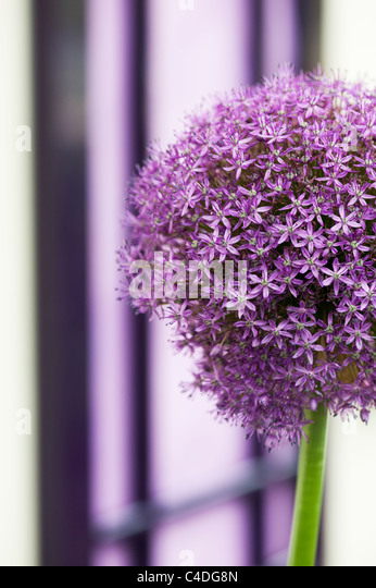 Allium ambassador flower in front of a purple door. Ornamental Onion - Stock Image