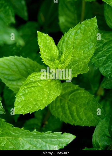 MINT PLANT GROWING IN VEGETABLE GARDEN ( SPEARMINT MENTA SPICATA) - Stock Image