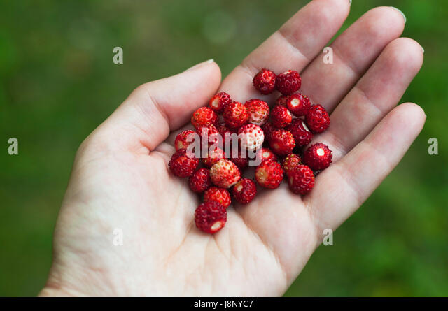 Woman holding wild strawberries - Stock-Bilder