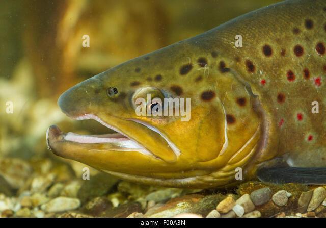 brown trout, river trout, brook trout (Salmo trutta fario), male, portrait, Germany, Bavaria - Stock Image