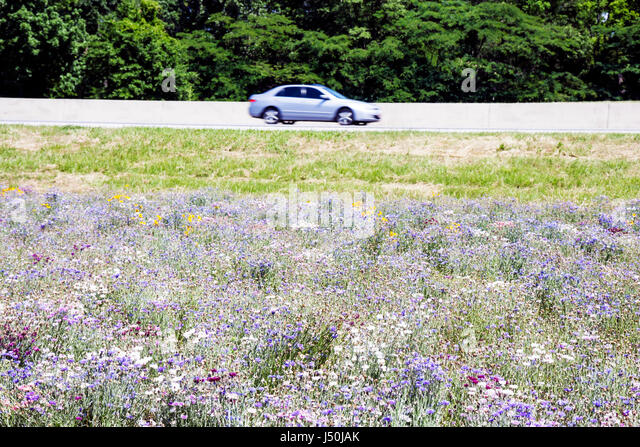 Montgomery Alabama Perry Hill Road wild flower car roadside blue meadow I 85 Interstate - Stock Image