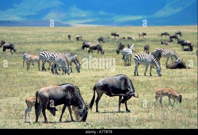 wildebeest and zebra relationship