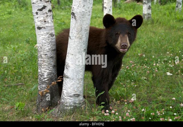 A wild male Black Bear (Ursus americanus) standing next to aspen trees in Sleeping Giant Provincial Park, Ontario, - Stock-Bilder