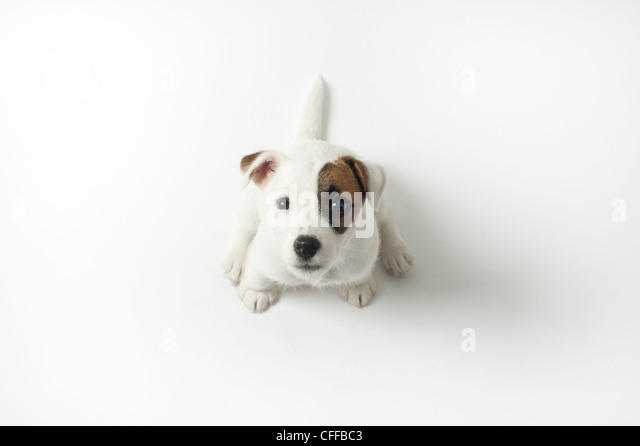 Jack Russell puppy looking up. - Stock Image
